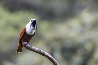 Three-wattled Bellbird (Procnias tricarunculatus) Campanero Tricarunculado (Pájaro Campana, Rin-Ran, Calandria) R-END