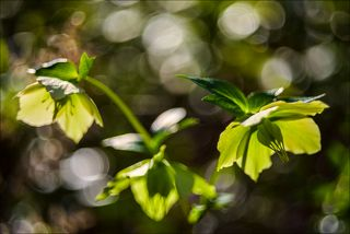 Жёлто - зелёные красавцы весеннего леса