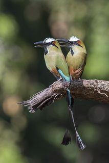 Turquoise-browed Motmot (Eumomota superciliosa) Momoto Cejiceleste (Pájaro Bobo) R