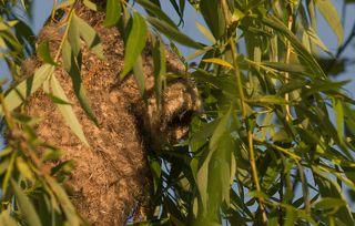1. В ветвях ивы у водоёма ремезы построили свой домик . Это этакая рукавичка в которой сейчас их птенцы . Они растут и требуют своё .
