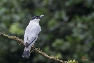 Black-crowned Tityra (Tityra inquisitor) Tityra Coroninegra (Pájaro Chancho) R