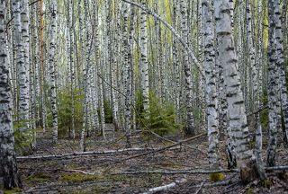 01 Начало мая в глубине берёзового леса, на мой взгляд, сильно недооцененное время, по крайней мере, снимают его гораздо реже, чем осень в тех же местах ...