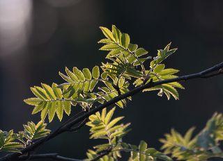 01 Первые листья деревьев в начале мая радует глаз свежестью, сочностью и чистотой цвета
