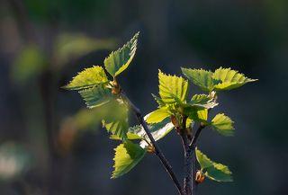 02 Листвы ещё немного и солнечный свет беспрепятственно проникает в самые глубины леса, «поджигая» первую зелень