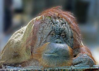 Обитатель зоопарка с самым грустным и разумным взглядом.