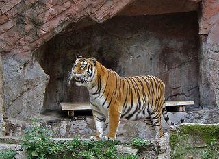Тигр, как ни странно был одним из немногих животных, чье место обитания не было огорожено ни стеклом, ни сеткой, ни каким-либо еще заметным способом.