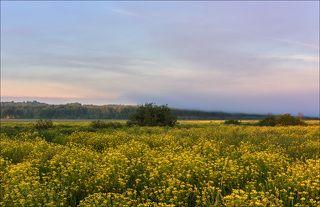 Рапсовое поле на восходе