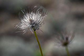 03 Сон-трава отцвела месяцем раньше, зато её побеги, украшенные плодами, принимают совсем удивительный вид...