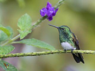 Snowy-bellied Hummingbird (Amazilia edward) Amazilia Vientriblanca (Gorrión) R-END