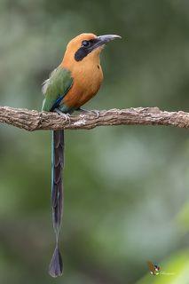 Rufous Motmot (Baryphthengus martii) Momoto Canelo Mayor (Pájaro Bobo) R