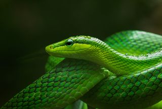 Green rat snake