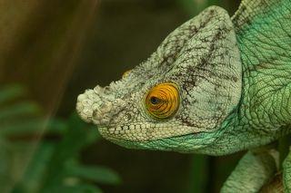 Chameleon close up