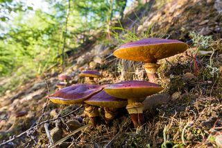 Маслята, растущие на небольшом склоне - это редкость. Но не потому, что это редкие грибы, а потому, что в долине Челомджи очень мало таких крутых склонов. Магаданский заповедник.