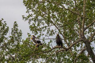 Семья орланов, родители и взрослый птенец, спокойно ждали, как мы проходим мимо них. Река Челомджа, Магаданский заповедник.