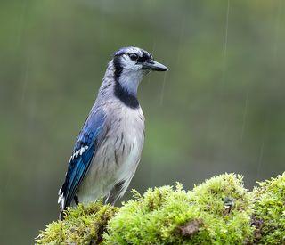 Голуюая сойка - Blue Jay
