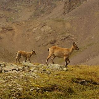 Кавказские туры на озере Сылтранкель оказались совсем не пугаными и преспокойно паслись метрах в 5 от нашей стоянки со своим молодым выводком.