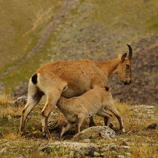Количество кавказских туров в дикой природе сегодня оценивается в 10 тысяч особей. Из причин исчезновения - хищники, опасные природные явления и браконьерство.