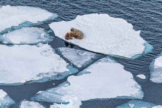 Атлантические моржи. Баренцево море, июнь 2019.