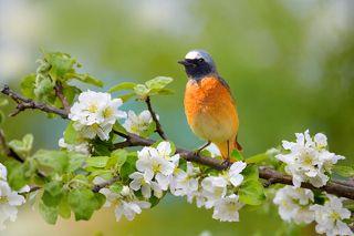 Сказка про чудесную птичку, которая принесла замерзающим людям огонь и спасла их, передает образ яркой птахи с хвостом цвета пламени. Это горихвостка. Небольшую птичку нельзя не заметить благодаря яркому окрасу брюшка и перьев хвоста.