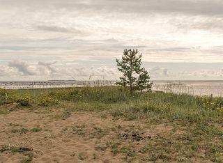Сосенка на берегу Белого моря.