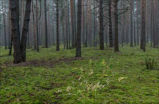Сентябрьский сосновый бор на восходе