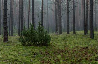 Сосновый лес в сентябре, на затуманенном восходе.