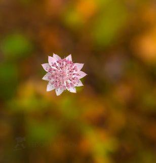Астра́нция наибольшая, или звездовка (лат. Astrantia maxima), — травянистое растение; вид семейства Зонтичные.