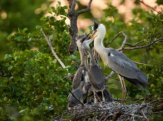 птенцы нетерпеливо хватают родителей за клюв, понуждая отрыгнуть рыбу