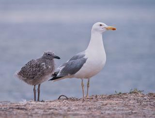 Чайка дочь и чайка мама