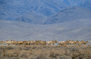 В национальном парке Алтын-Эмель проживают около 5 тысяч куланов