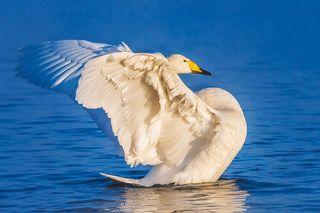 Лебедь на озере Светлое