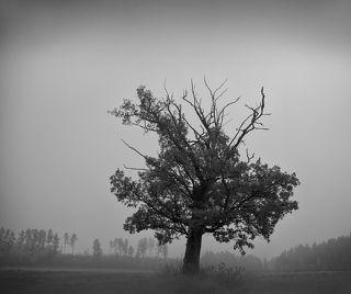 Про Дуб наклонившийся в туман