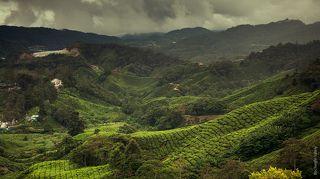 Чайная плантация BOH