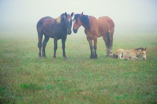 Лошади, утро, туман...