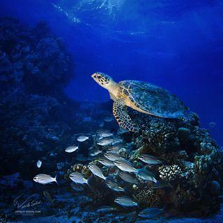 Красное море. Большая зелёная морская черепаха.