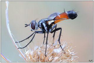 Cylindromyia ?brassicaria