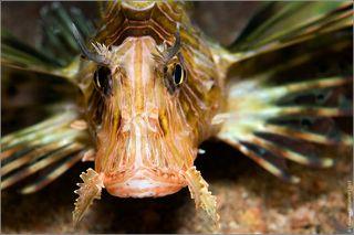Википедия: Крылатка-зебра, рыба-зебра или полосатая крылатка (лат. Pterois volitans) — рыба семeйства скорпеновых. Длина тела рыбы около 30 см, оно расписано яркими светлыми полосами. Это хищные рыбы. Они могут спокойно проглатывать рыб длиной до двух третей собственной. Иглами эти рыбы атакуют своих жертв. Окраска тела красная с многочисленными светлыми полосками; грудные плавники большие (отсюда название), хотя летать крылатка не может. Вес рыбы достигает 1 кг. Встречаются в прибрежных водах Красного моря, в тропических водах Индийского и Тихого океанов — у берегов Китая, Японии и Австралии.