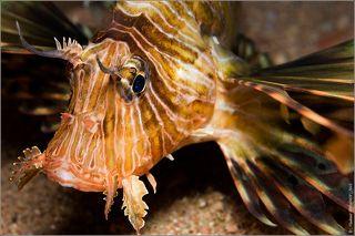 Крылатка имеет длинные ленты спинных и грудных плавников-в этих роскошных веероподобных плавниках таятся острые ядовитые иглы. Укол колючками этой рыбы очень болезнен. За резкой болью следует ухудшение состояния, которое заканчивается параличом скелетной и дыхательной мускулатуры. Если пострадавшего не вытащить немедленно на берег, он утонет.