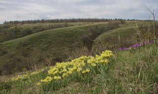 Цветет ирис низкий (Iris pumila)/