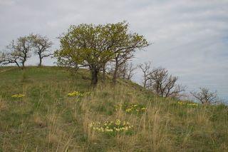 Цветет ирис низкий (Iris pumila).