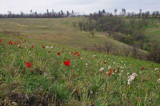 Цветут тюльпаны Биберштейна и валериана клубненосная.