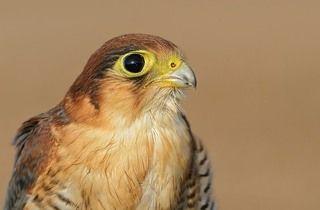redneck falcon  1/800s, f/8, ISO 250, -0.7Ev Focal: 300mm, NIKON D7000