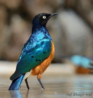 Superb Starling,,,,, Masai Mara, Kenya 1/400s, f/10, ISO 200, Focal: 300mm, NIKON D7000