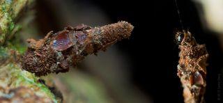 Гусеница Мешочница. Bagworm (Psychidae)  Коллаж из двух снимков. В левом углу она находится в защитном сооружении чехле  сплетенном из частиц листьев, коры, веточек и комочков почвы — откуда и произошло русское название семейства. В правом углу показано как гусеница пытается переместится на нижний уровень дерева по сплетенной ею паутинке. Где можно увидеть как она высовывается из своего укрытия.