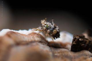 Личинка Златоглазки (Chrysoperla carnea) из за очень маленького размера всего в 2-3 миллиметра глубина резкости очень маленькая.