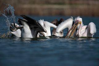 Самая плохая позиция жизни ,спрятать голову,а всё остальное оставить без защиты ,поэтому у пеликанов никогда не ныряет вся группа