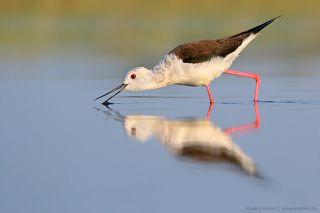 Water splitting.  Black-winged Stilt