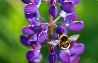 Собирают нектар. Трудяги. И каждый цветочек обрабатывают, в каждый заглянут. И со знанием дела пыльцу собирают на лапки.