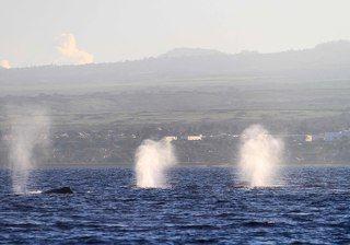 В это время года киты приплывают на Гаваи рожать. Когда китёныш наберётся сил, они поплывут на север, к берегам Чукотки, Аляски и Канады.