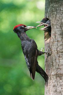 Самец кормит птенцов. Самка и самец прилетают с кормом, по очереди, раз в 1,5-2 часа.